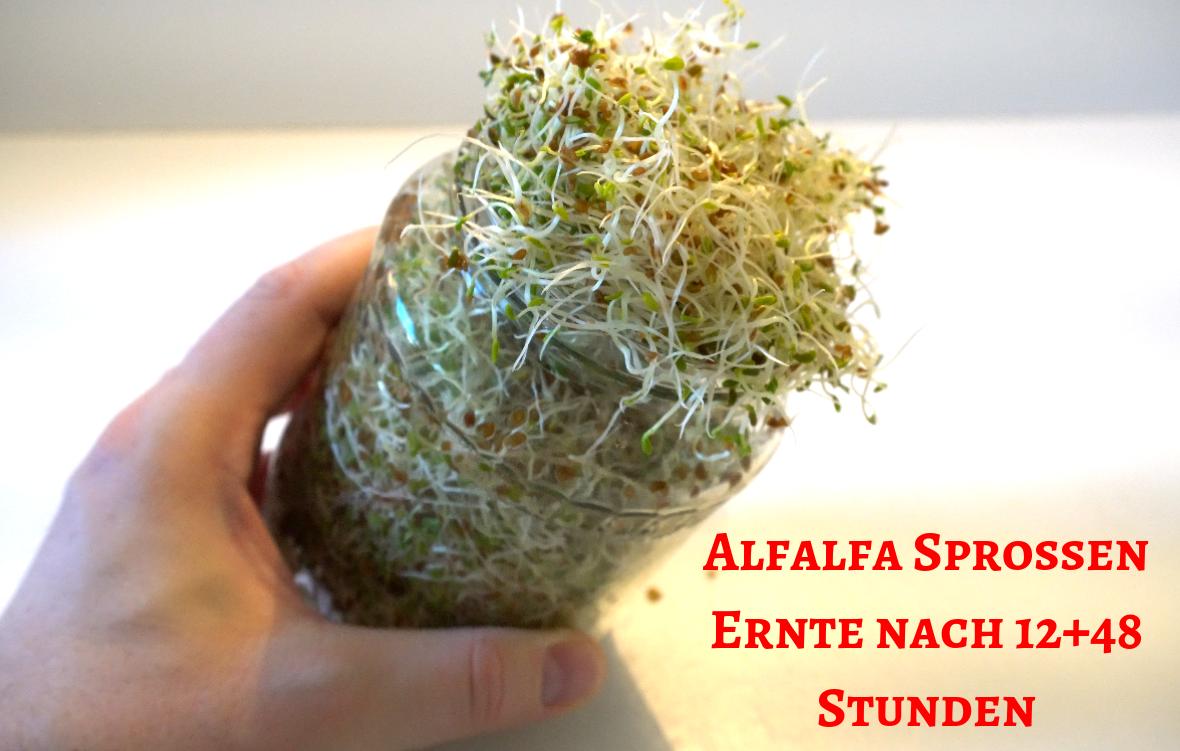Alfalfa Sprossen Ernte nach 12+48 Stunden